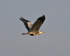 A flyover Grey Heron