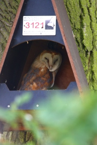 Barn Owl using a Kestrel box as a daytime roost