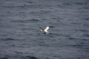 Adult Gannet