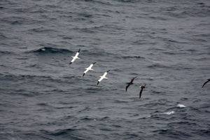 Gannets at Sea