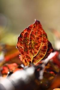 Dogwood (Cornus sanquinea)