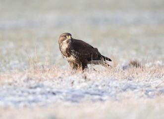 buzzard frost2