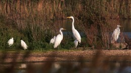 Great-white-egrets-with-little-egrets-a-Dungeness.-7-1280x721