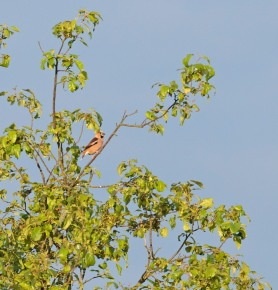 Hawfinch 3